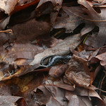 RMN Salamander Hike, March 3, 2012: White-spotted slimy salamander, Plethodon cylindraceus. Photo by Eric Johnson.