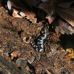 RMN Salamander Hike, March 3, 2012: Our second marbled salamander, Ambystoma opacum. Photo by Eric Johnson.